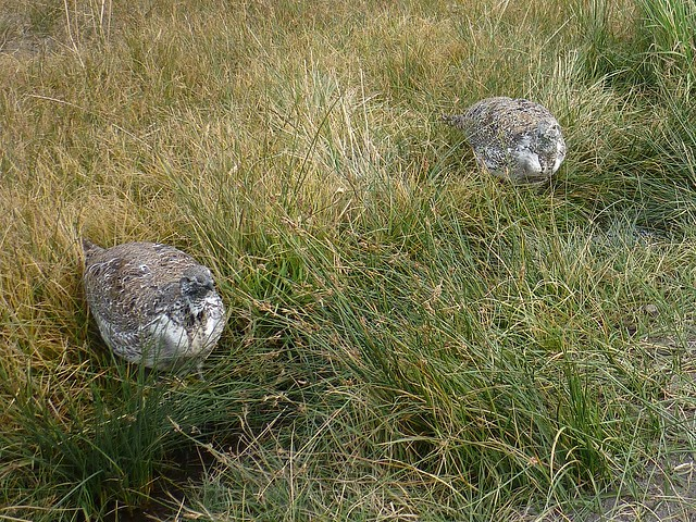 greater sage grouse males
