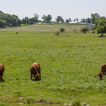 Three cows of Hawkesville, Ontario