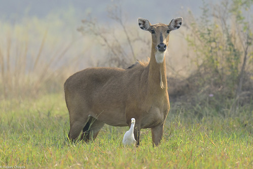 Antelope and Egret-2758