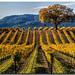 Fall Vineyards by fotomark.net