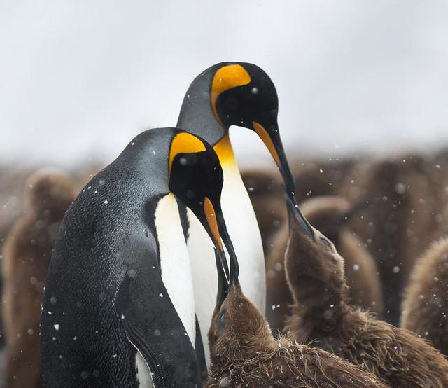 King Penguins Feeding Chicks at Fortuna Bay, South Georgia