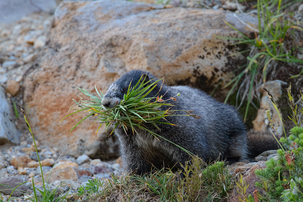 A hoary marmot with a mouthful of grasses and flowers