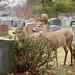 Deer in the cemetery by Aramisse