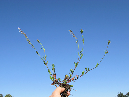Silene gallica plant4 NC