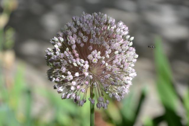 Allium polyanthum - ail à fleurs nombreuses 32979977411_5e88aaf3ed_z