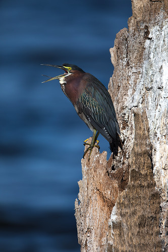 greenheron butoridesvirescens