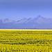Sunflowers and Long's Peak, Colorado. by reid.neureiter