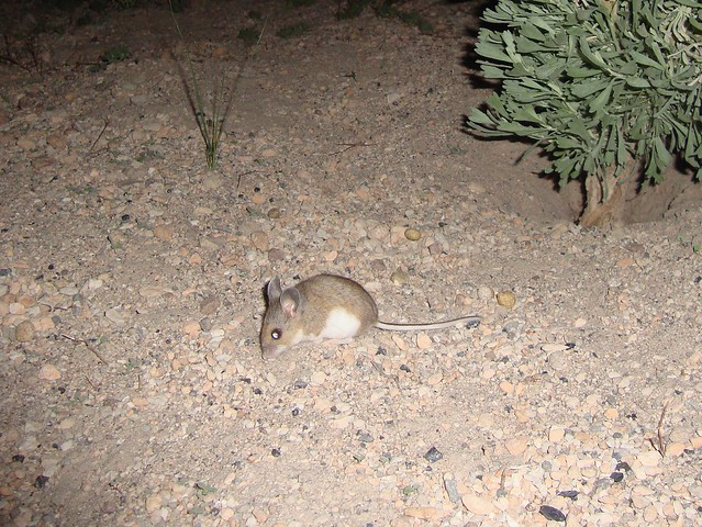 deer mouse 3