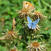 Carline Thistle with Butterflies by Perseus1