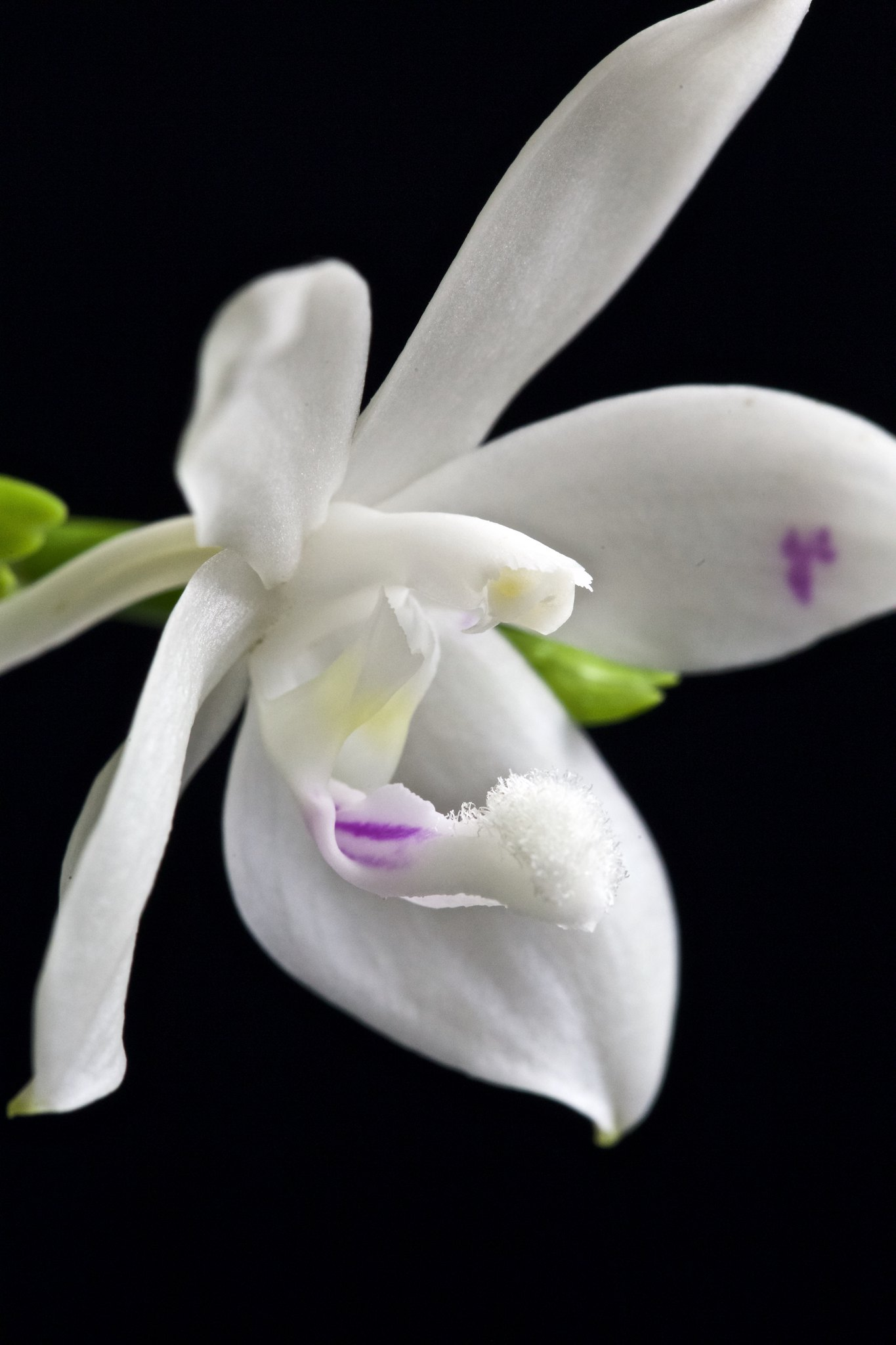 Phalaenopsis tetraspis 20997651079_98e32fe7f2_k