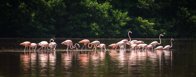 Flamingo. Ría Celestún Biosphere Reserve, Yucatán, Mexico