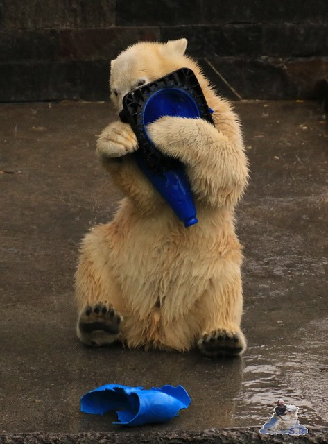 Eisbär Fiete im Zoo Rostock 05.09.2015  080