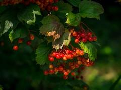 flower(0.0), plant(0.0), wine raspberry(0.0), crataegus pinnatifida(0.0), produce(0.0), food(0.0), rowan(0.0), hawthorn(0.0), autumn(0.0), berry(1.0), leaf(1.0), fruit(1.0), sorbus(1.0),
