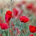 moving poppies by mat56.