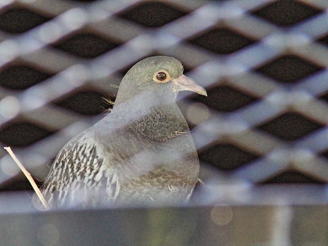 Rock Pigeon 20150926