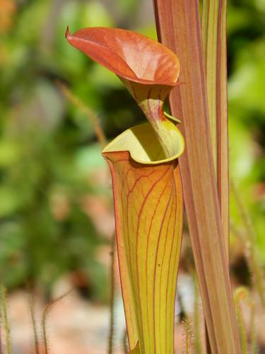 Sarracenia flava var. cuprea/atropurpurea 'FRT 1-5'