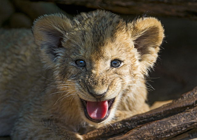 Cute lion cub yawning