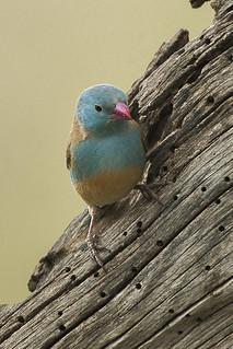 Blue-capped Cordonbleu - Ndutu - Tanzania_0184