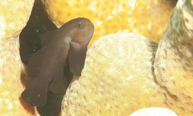 イチモンジコバンハゼの成魚