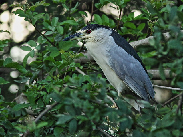 Black-crowned Night-Heron 20151108