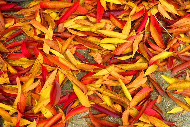 autumn leaves, Canon POWERSHOT ELPH 520 HS