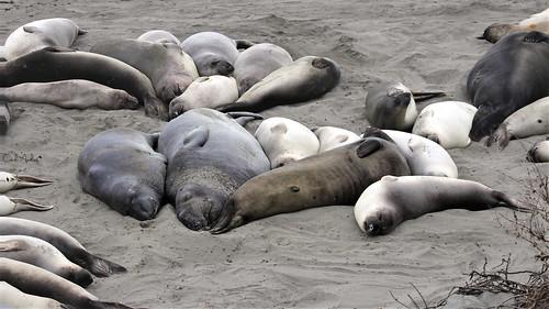 Sleeping Elephant Seals