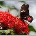 Papilio anchisiades idaeus - Ruby-spotted Swallowtail por J. Amorin