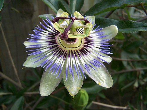 This Year's First Passionflower!!!