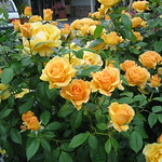 Almost Golden roses