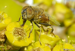 Hover fly on Euphorbia cooperi flowers