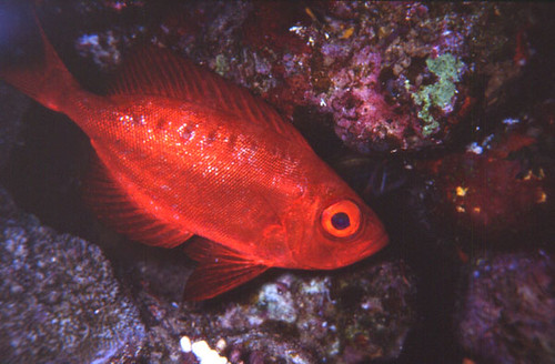 Poisson gros yeux flickr photo sharing for Poisson yeux miroir