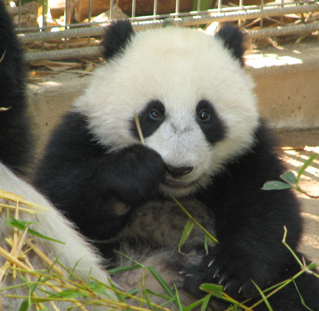 Closeup of little Su Lin today at the Giant Panda Research Station