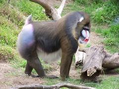 western gorilla(0.0), outdoor recreation(0.0), macaque(0.0), ape(0.0), animal(1.0), baboon(1.0), monkey(1.0), zoo(1.0), mammal(1.0), fauna(1.0), old world monkey(1.0), wildlife(1.0),