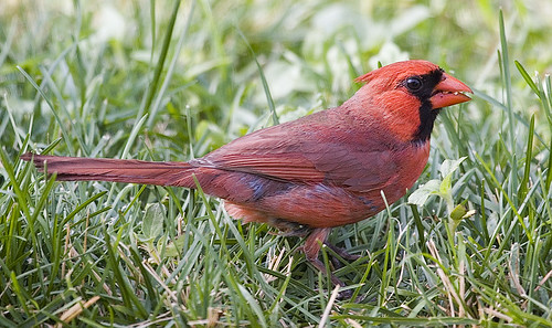 Northern Cardinal Breaking A Seed