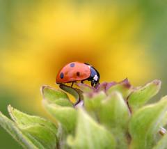 Ladybug Blaze