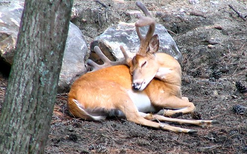 Sleepy Deer