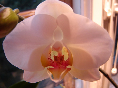 Phalaenopsis orchids by Anna Amnell