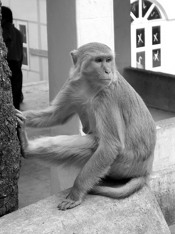 Macaque, Mt. Popa