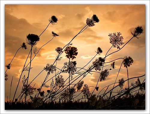 sunset canada flower fleur soleil bravo soft searchthebest quality québec breeze iloveit lefion abigfave