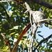Nesting Paradise Flycatcher