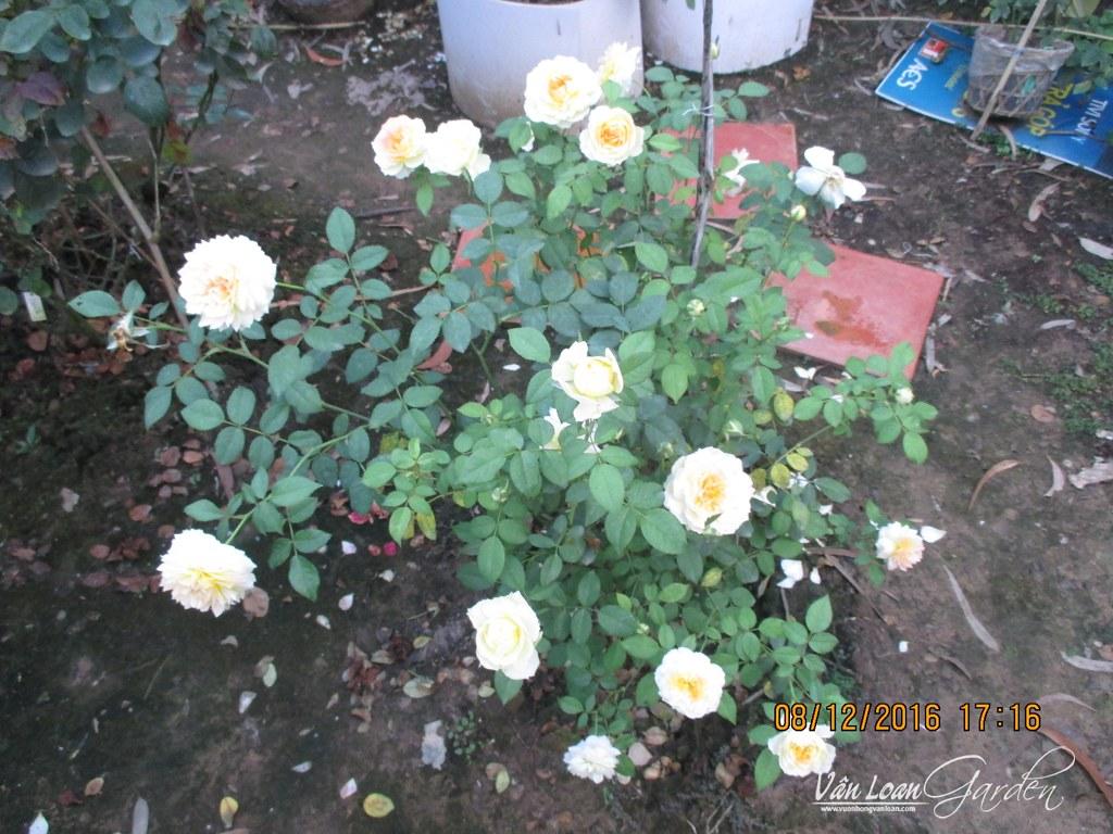 hong molieux hoa hong ngoai (7)-vuonhongvanloan.com