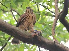 溝鼠也是鳳頭蒼鷹的主食,可以控制都市鼠類的數量。攝影:楊明淵。