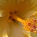 Yellow Hibiscus by enjosmith