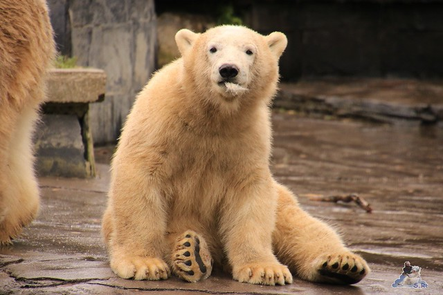 Eisbär Fiete im Zoo Rostock 06.09.2015  019