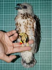 在幼鳥離巢前,進行繫放標記。攝影:楊明淵。