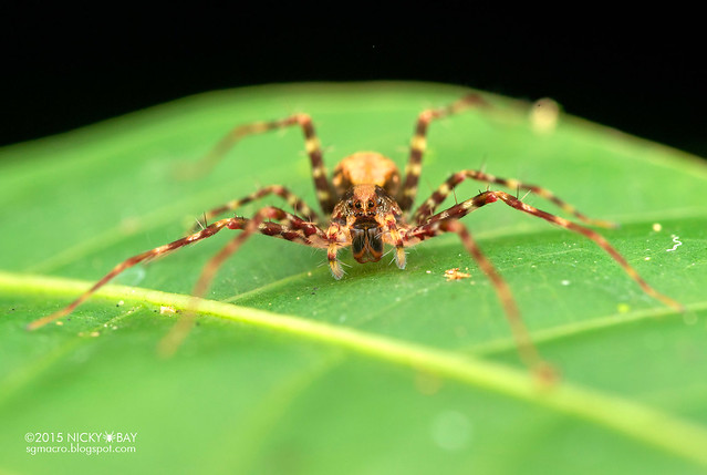 Nursery web spider (Architis sp.) - DSC_4552