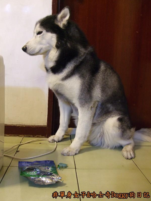 2011哈士奇doggy做壞事07