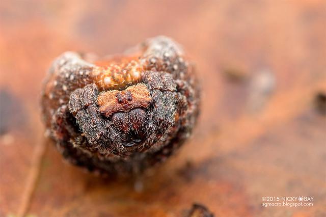 Roly poly orb weaver (Xylethrus scrupeus) - DSC_4508