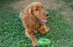 dog breed, animal, dog, pet, nova scotia duck tolling retriever, irish setter, setter, english cocker spaniel, picardy spaniel, spaniel, german spaniel, carnivoran,