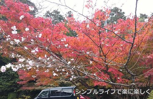 百済寺、入口・長寿桜